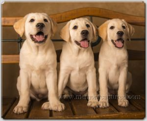 Lab puppies 2 (12)-c3.jpg