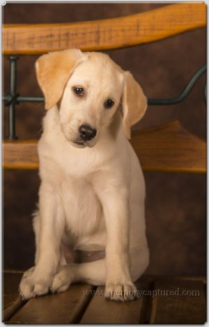 Lab puppies 2 (4)-c83.jpg