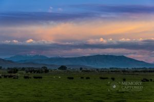 cattle sunrise_1-c62.jpg