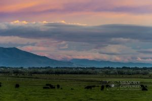 cattle sunrise_4-c61.jpg