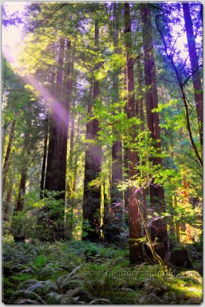 Muir Woods June 2014 (2)-c93.jpg