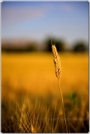 wheat fields (5).jpg