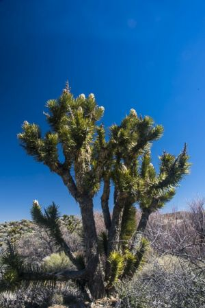 Joshua tree in bloom-c42.jpg