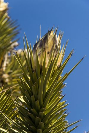 Joshua tree in bloom_2-c50.jpg