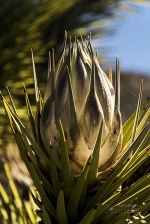 Joshua tree in bloom_3-c84.jpg