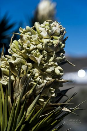 Joshua tree in bloom_8-c25.jpg