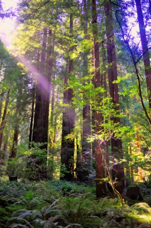 Muir Woods June 2014 (2)-c61.jpg
