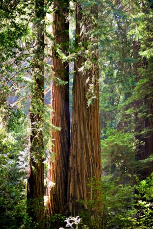 Muir woods June 2014 2 (4)-c87.jpg