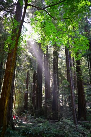Muir woods June 2014 2 (6)-c93.jpg