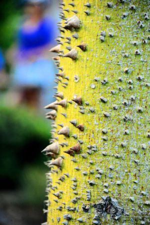 Silk floss tree 3 (1)-c13.jpg
