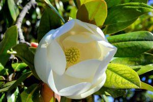 magnolia-c46.jpg