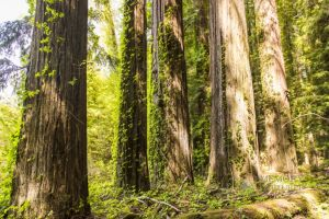 redwoods April 2015_20-c86.jpg