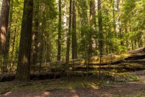 redwoods April 2015_8-c81.jpg