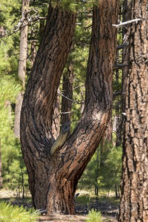 tuning fork Tree Jacob Lake.jpg
