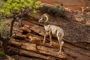 big horn sheep zions july 2015_101.jpg