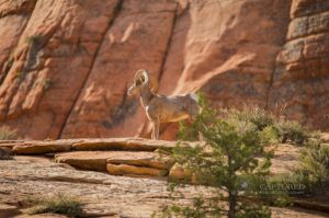 big horn sheep zions july 2015_109.jpg
