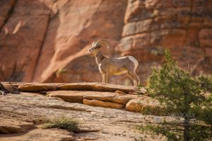 big horn sheep zions july 2015_110.jpg