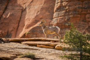 big horn sheep zions july 2015_111.jpg