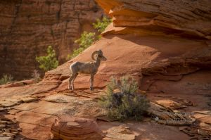 big horn sheep zions july 2015_112.jpg