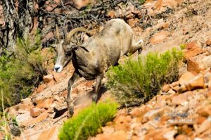 big horn sheep zions july 2015_14.jpg