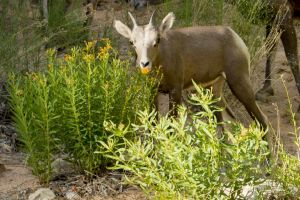 big horn sheep zions july 2015_17.jpg