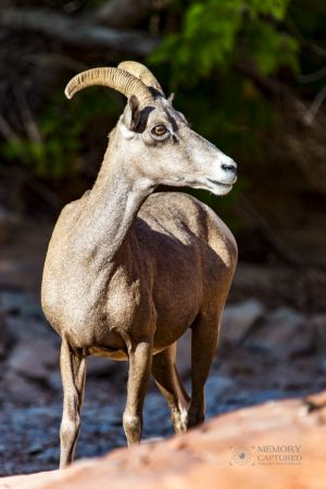 big horn sheep zions july 2015_19.jpg