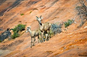 big horn sheep zions july 2015_3.jpg
