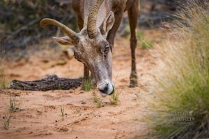 big horn sheep zions july 2015_31.jpg