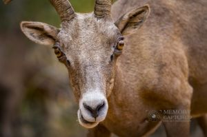 big horn sheep zions july 2015_33.jpg