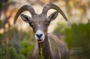 big horn sheep zions july 2015_34.jpg
