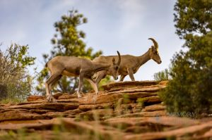big horn sheep zions july 2015_45.jpg