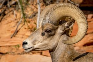big horn sheep zions july 2015_47.jpg