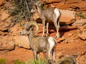 big horn sheep zions july 2015_48.jpg