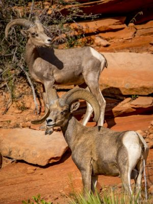 big horn sheep zions july 2015_49.jpg