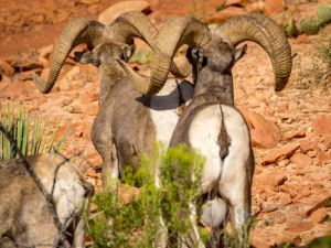 big horn sheep zions july 2015_50.jpg