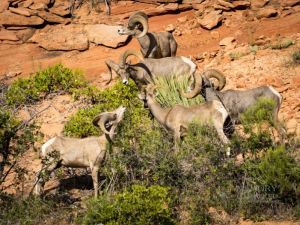 big horn sheep zions july 2015_54.jpg