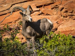 big horn sheep zions july 2015_60.jpg