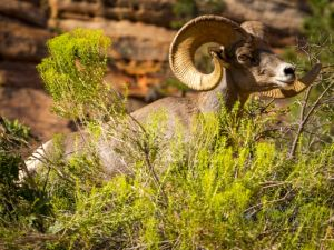 big horn sheep zions july 2015_65.jpg
