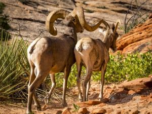 big horn sheep zions july 2015_67.jpg