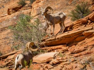 big horn sheep zions july 2015_71.jpg