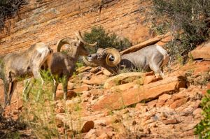 big horn sheep zions july 2015_72.jpg