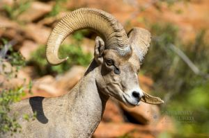 big horn sheep zions july 2015_85.jpg