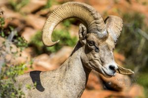 big horn sheep zions july 2015_86.jpg
