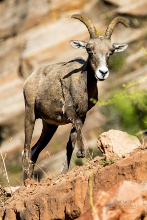 big horn sheep zions july 2015_9.jpg