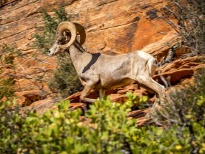 big horn sheep zions july 2015_90.jpg