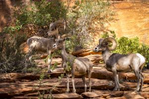 big horn sheep zions july 2015_93.jpg