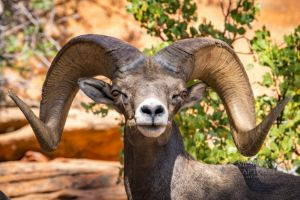 big horn sheep zions july 2015_95.jpg