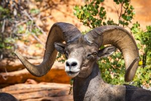 big horn sheep zions july 2015_96.jpg