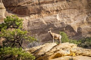 big horn sheep zions july 2015_97.jpg