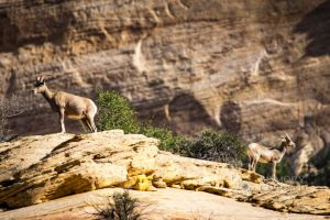 big horn sheep zions july 2015_98.jpg